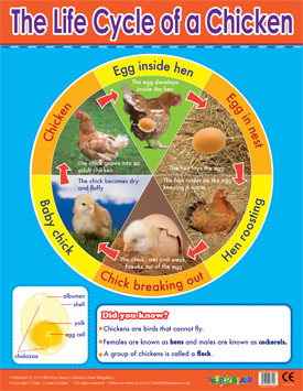 Educational School Posters   Chicken Life cycle Learning Chart