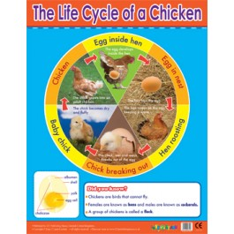 KS2 Posters - Chicken Life Cycle